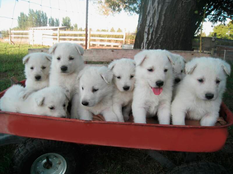 How To Purchase A Polarbear White Shepherd White German Shepherd