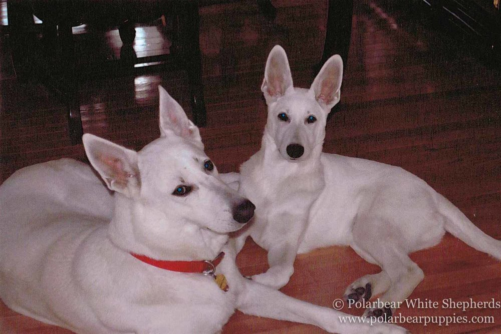 polarbear white german shepherd dogs (21 of 250).jpg
