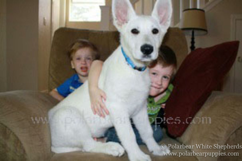 polarbear white german shepherd dogs (25 of 250).jpg