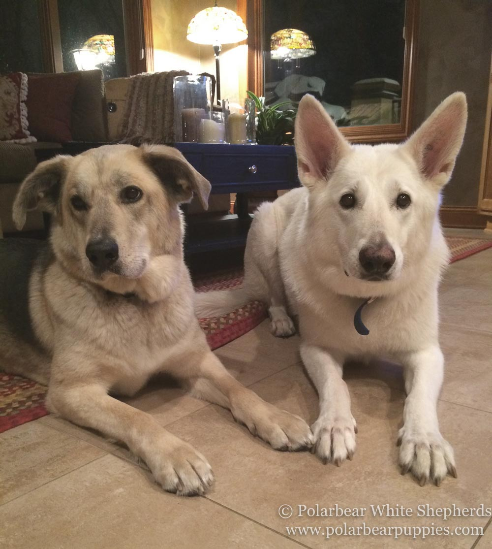 polarbear white german shepherd dogs (51 of 250).jpg