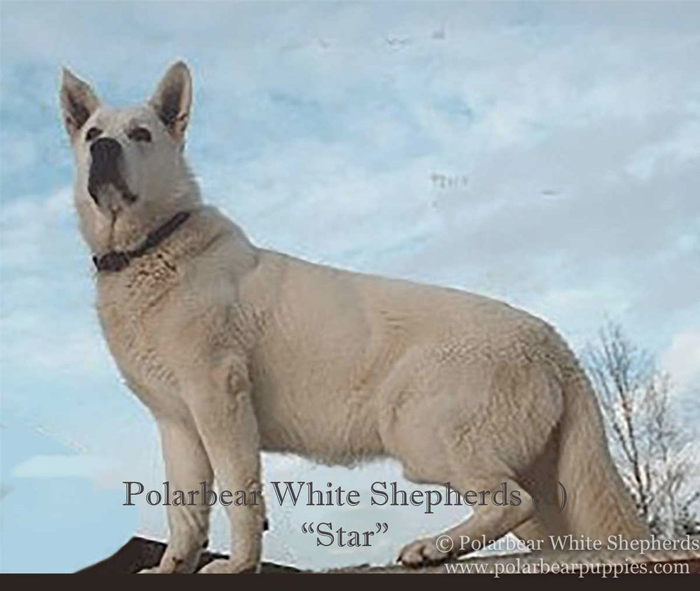 polarbear white german shepherd dogs (63 of 250).jpg