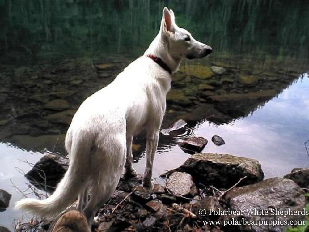 polarbear white german shepherd dogs (121 of 250).jpg