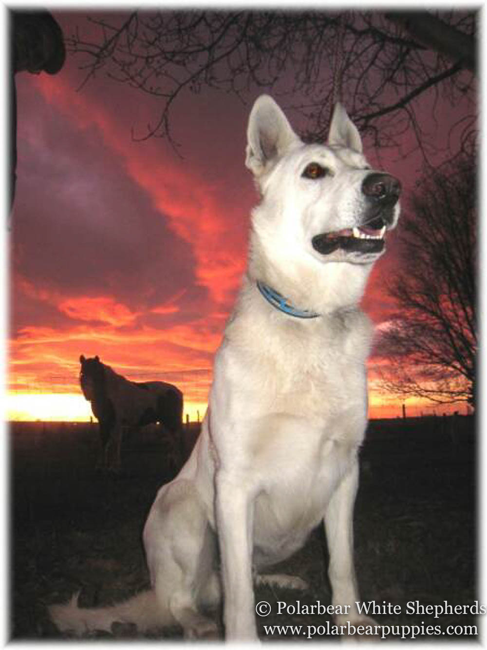 polarbear white german shepherd dogs (124 of 250).jpg