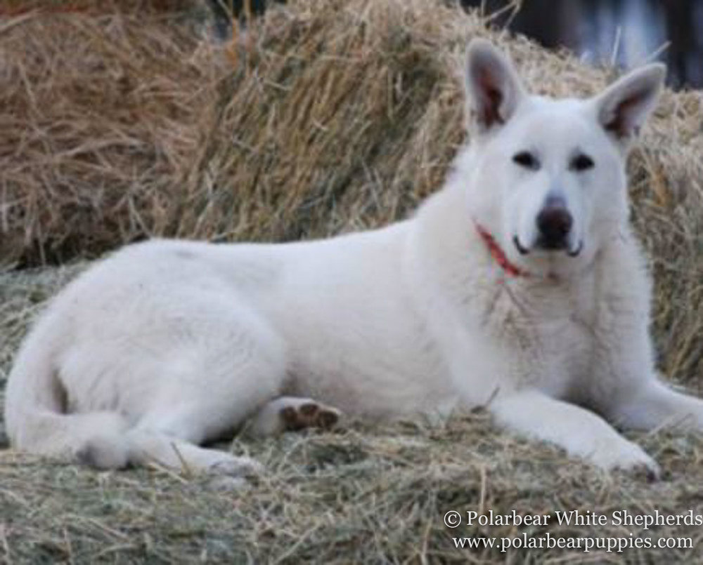 polarbear white german shepherd dogs (209 of 250).jpg