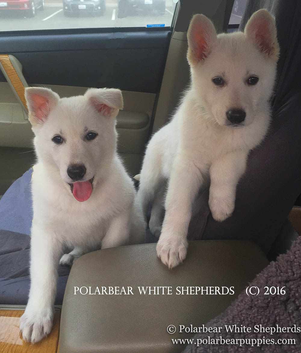polarbear white german shepherd dogs (217 of 250).jpg
