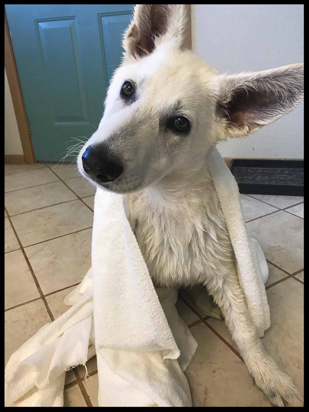 A Polarbear after Bathtime.