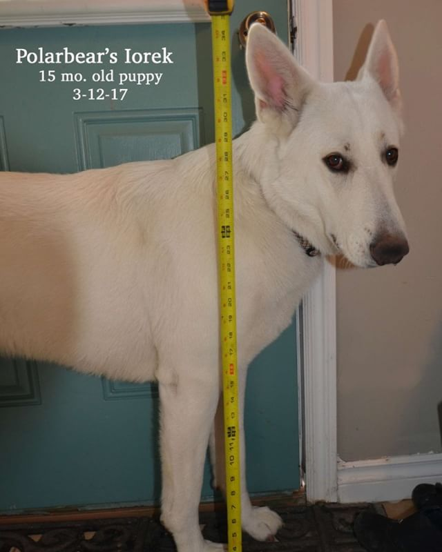 How big are Polarbear White Shepherds?  Big and tall ... our males are between 100-120# and our females are 80-100#. This is our current sire: Iorek