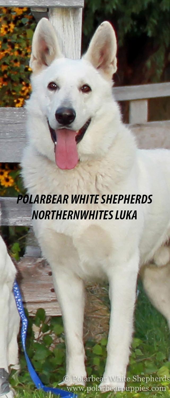 Northernwhite's Luka