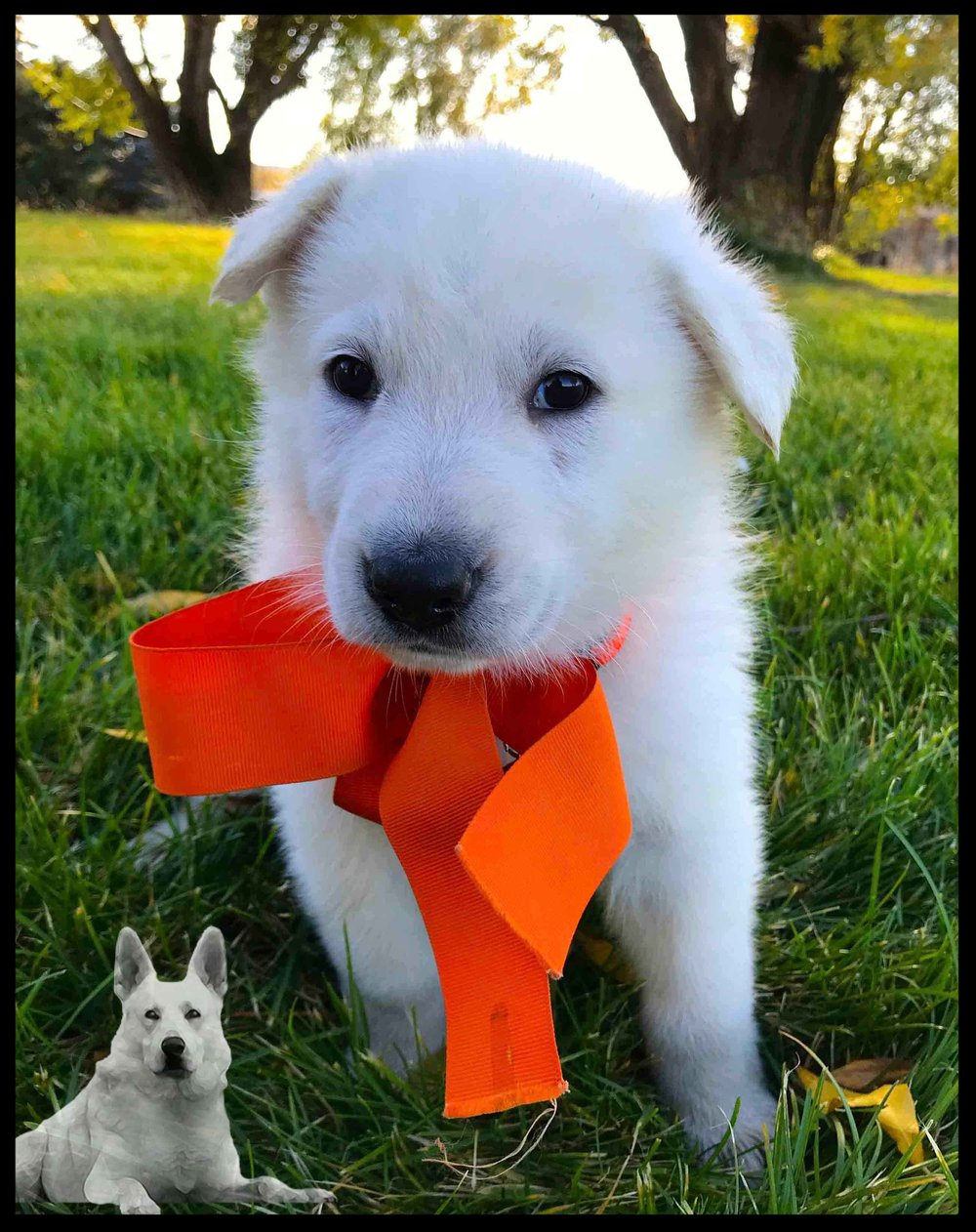 PICK PUPPY: Orange Female