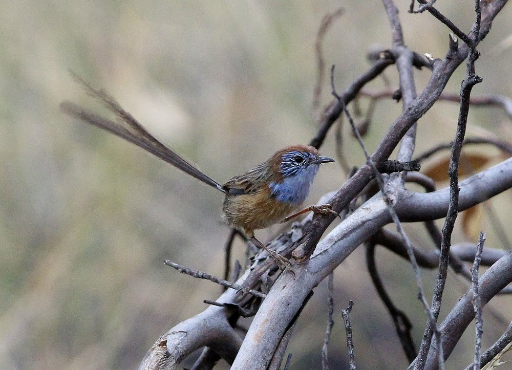 The endangered Mallee Emu-wren, photo by Steven Jmaes