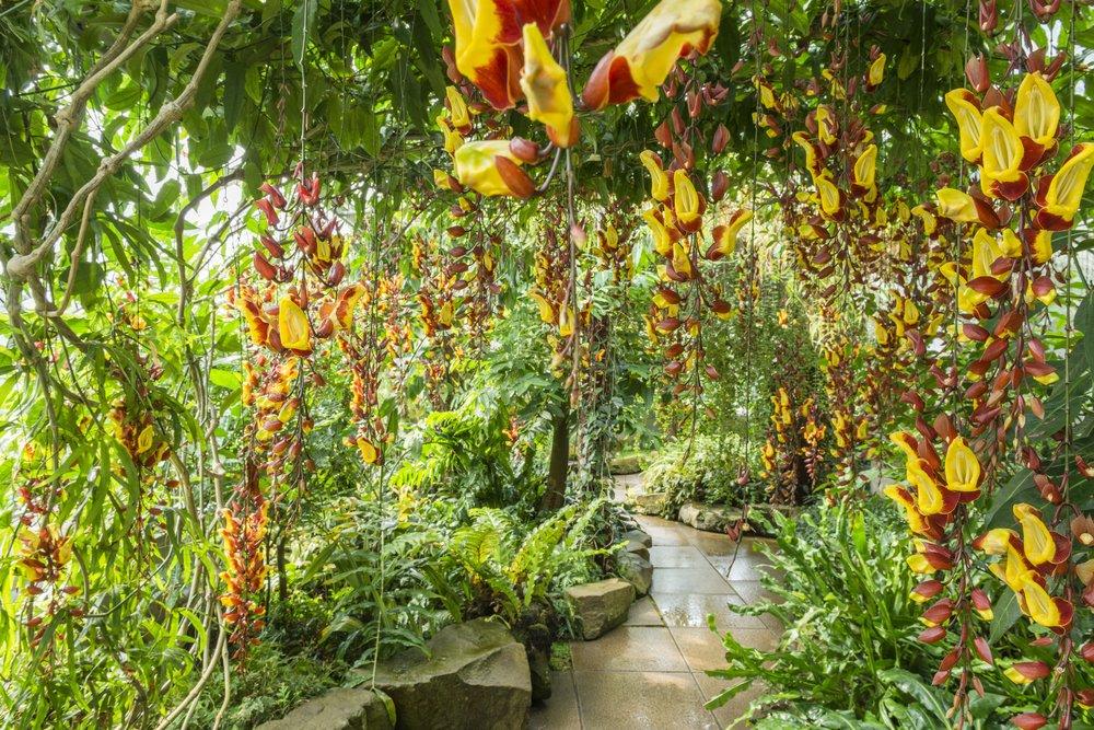 Thunbergia Mysorensis in the Tropical Rainforest Glasshouse. Photo by: Howard Rice. Courtesy of Cambridge University Botanic Garden.