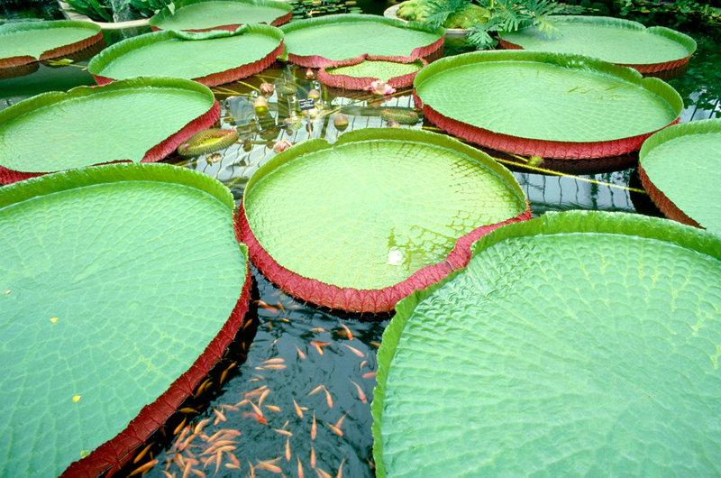 Gigantic water lilies at Kew Gardens.