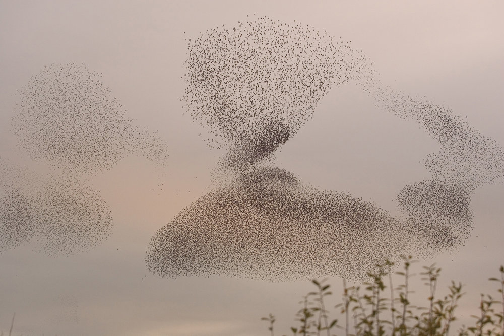 Witness incredible starling murmurations. Photo by: David Kjaer. Image courtesy of RSPB