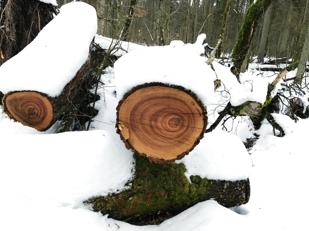 asymmetrical-tree-rings-bialowieza-forest.jpg