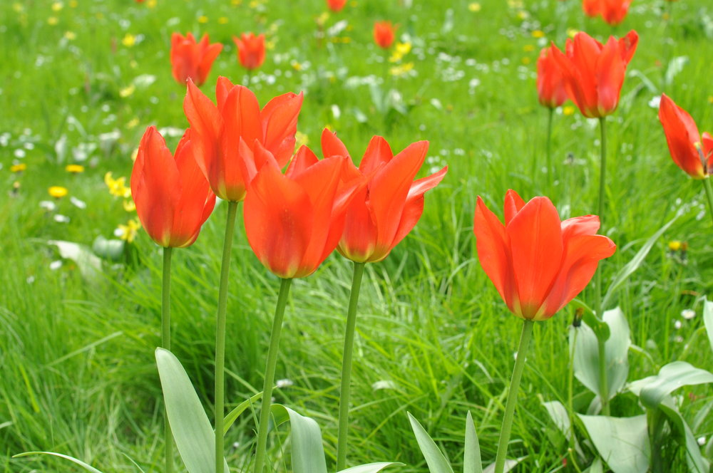tulips-in-lazienki-park.jpg