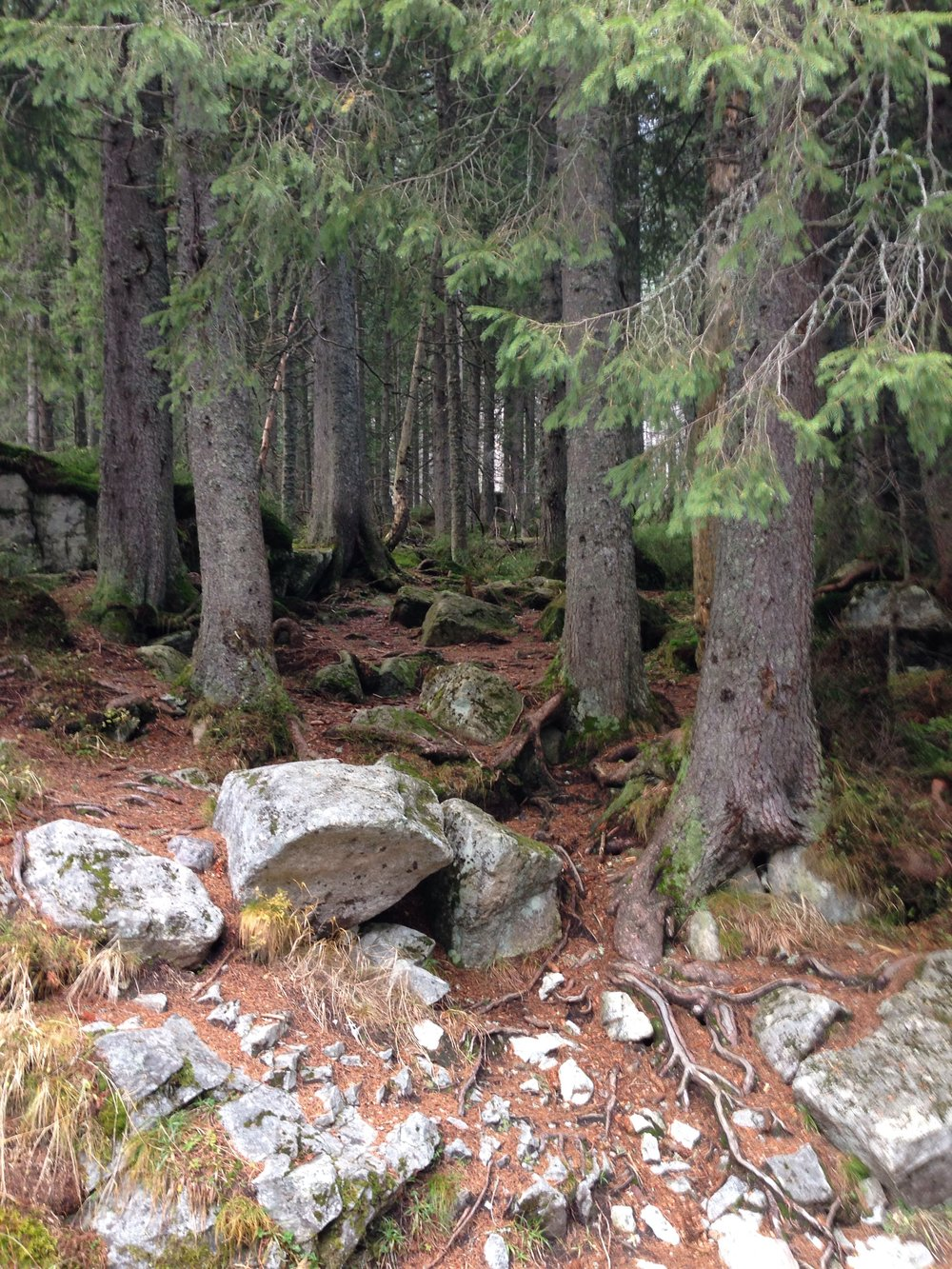 Trees in the Tatra National Forest