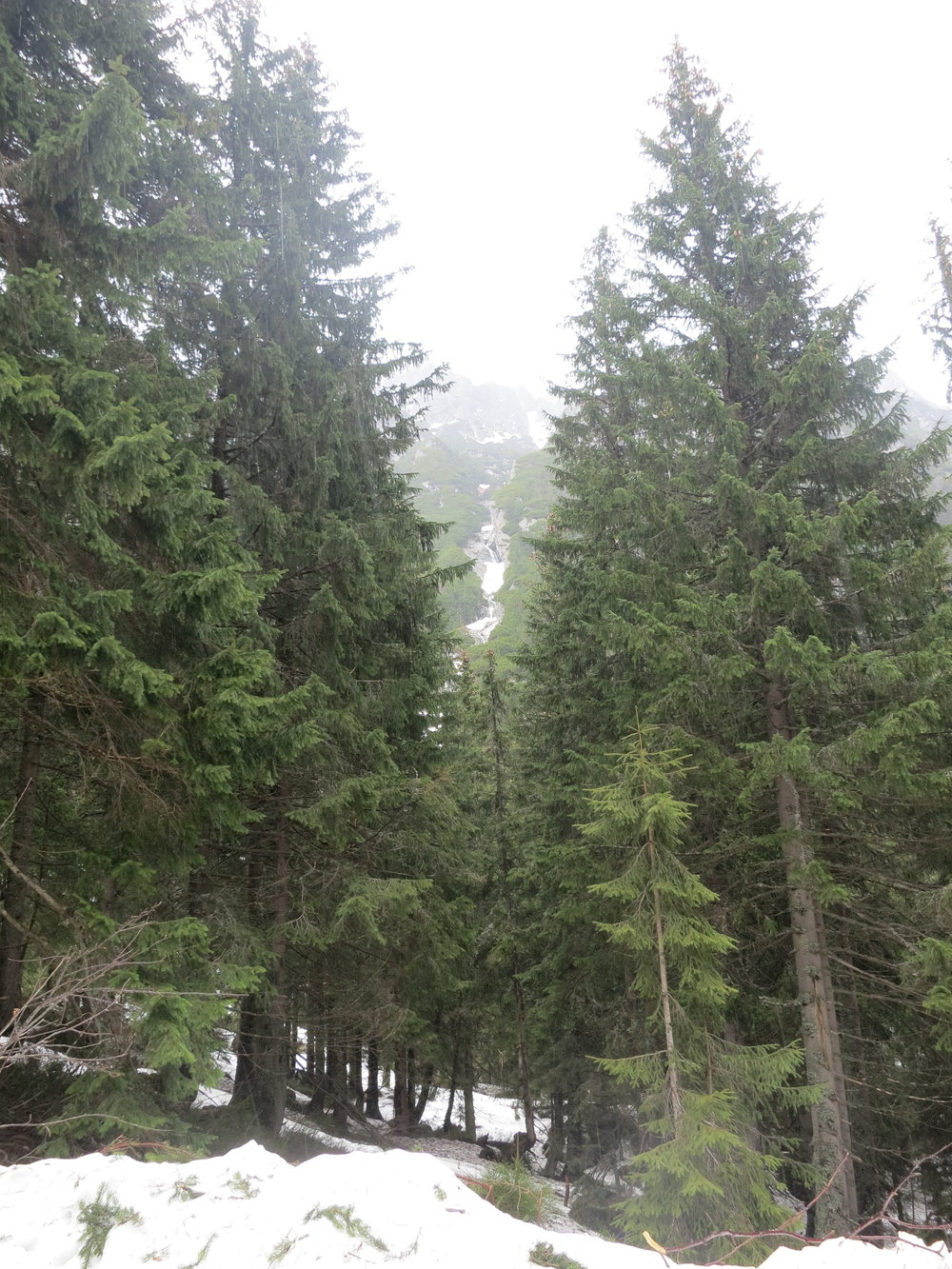 Trees in the Tatra Mountains