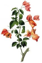 Botanical-Flower-Bouganville-575x1000.png