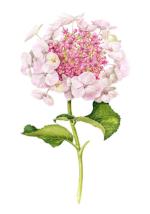 ab8797aa461e52630622cf1769a94d5f--plant-illustration-watercolour-illustration.png
