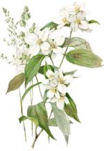 81d350e33d24c985bf9dcb7ce76d4896--vintage-botanical-prints-botanical-drawings.png