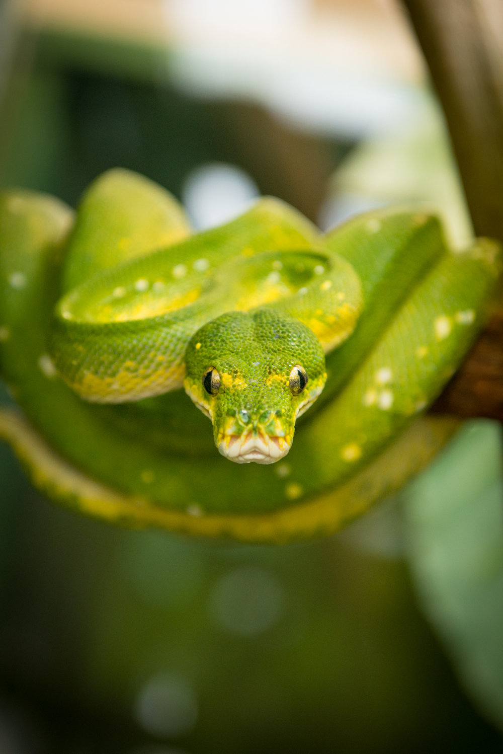 Green Tree Python by Grahm S. Jones for The Columbus Zoo and Aquarium