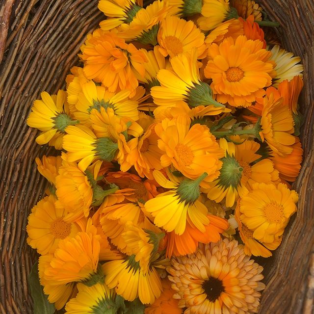 Happy Spring Equinox! We have lots to be grateful for 🌧🌕☀️🌧🌈 #rain #sun #fullmoon #regeneration #greengrass #equinox #springishere #dempure #biodynamic #soilbuilders #carbonsinkers #regenerativecannabis #calendula #arugula #mendo #persianNewYear #NowRuz