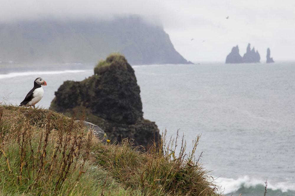 Puffins at Dyrhólaey, Reynisfjara Beach