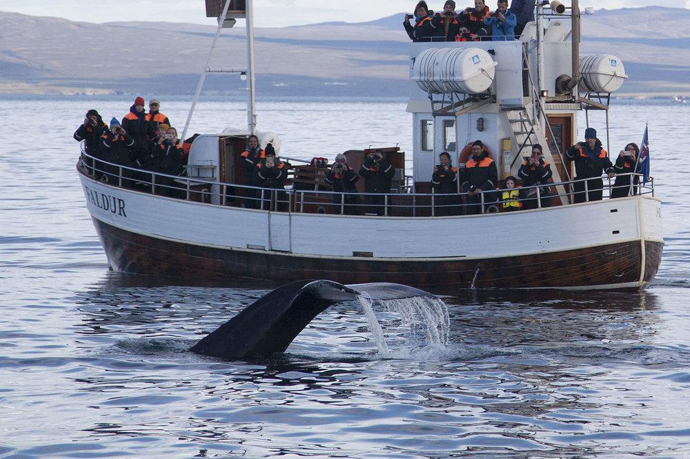 Humpback Whales Húsavík