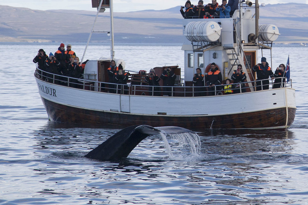 The best window to see Humpback whales near Husavik is from April through October. Orcas may be spotted from April to May.