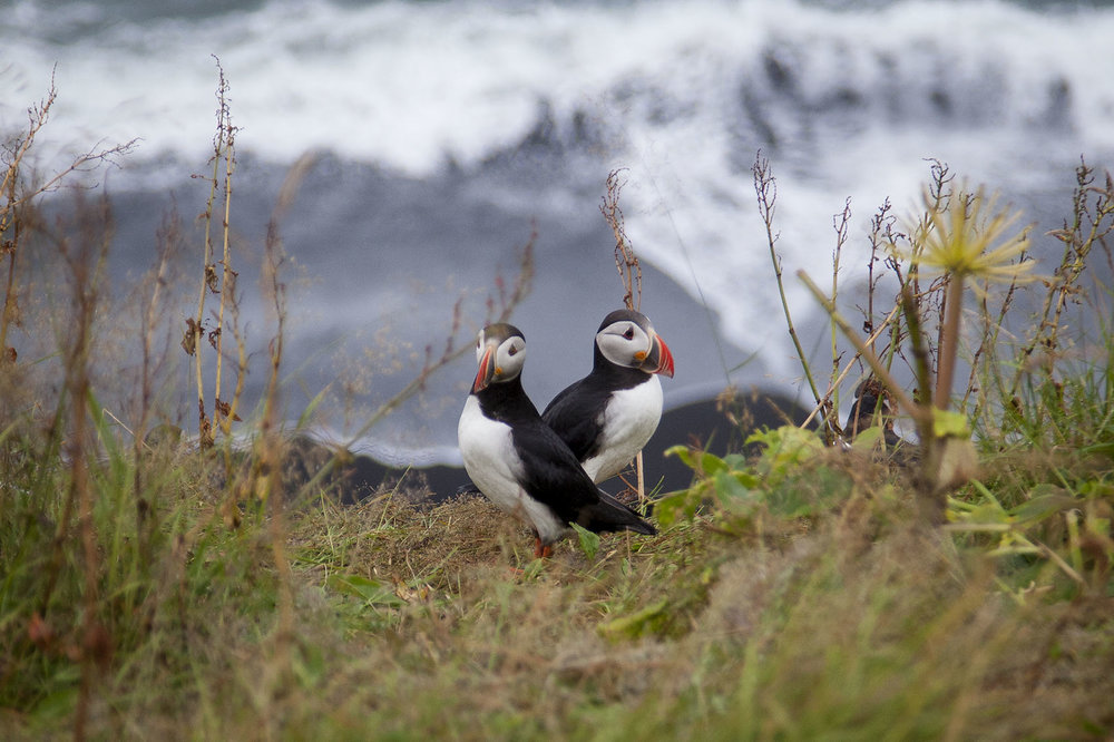 Puffins perch on the cliffs of Reynisfjara Beach in Iceland. Over half of the world's population of Atlantic puffins breed in Iceland. An estimated 8. To 10 million puffins live in Iceland.