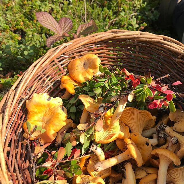 Foraging/ skógarstund . . #gamlaapótekið #placetoread #autumn #foresting #bestplacetostay #norðurland #placetoread #peaceofmind #outinnature #peace #útivera #freshair #freshfood #mushroompicking #iceland #inspiredbyiceland