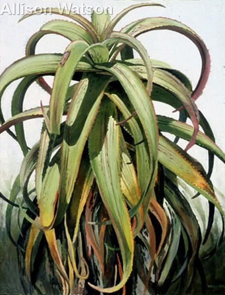 Aloe Medusa