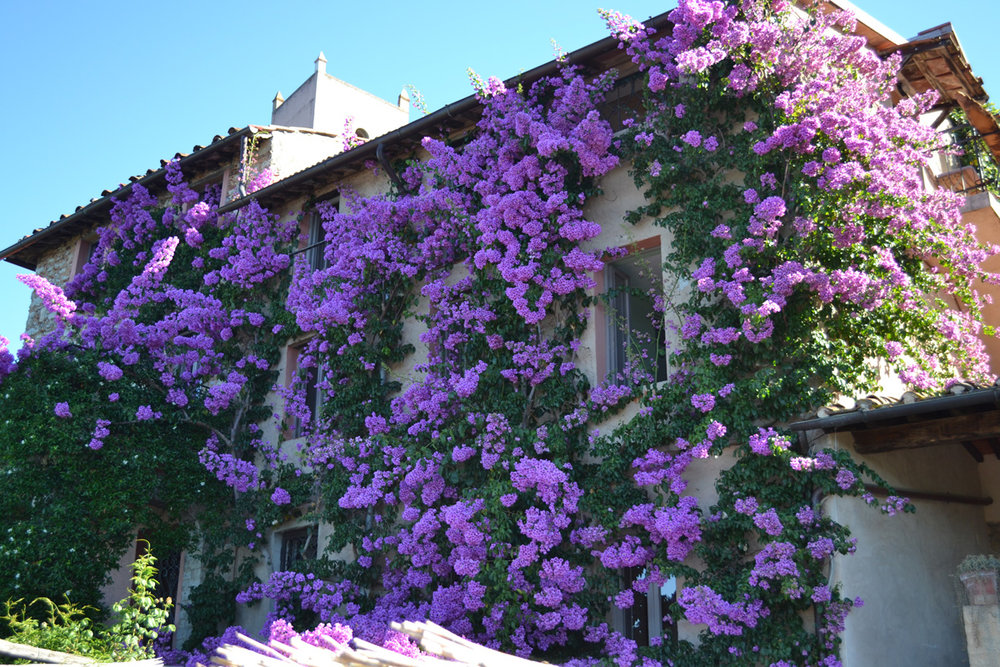 Bougainvillea-copy.jpg