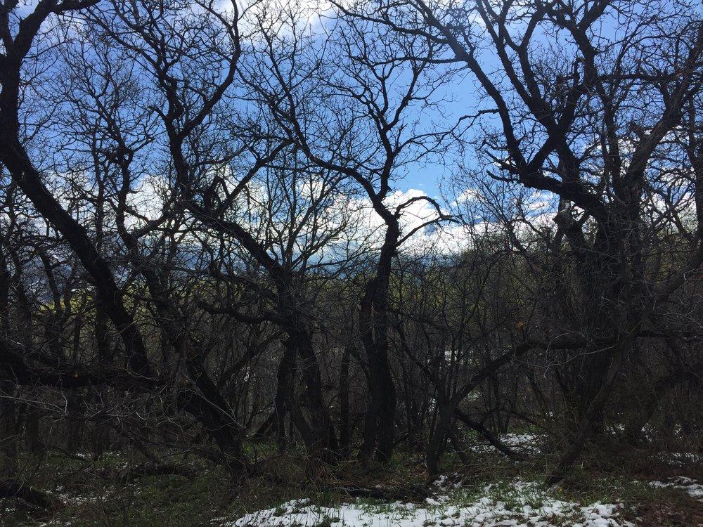 gambel oak 2