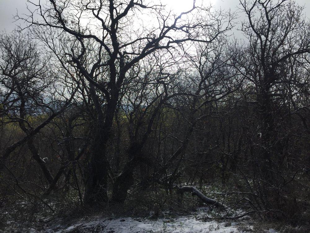 gambel oak 1