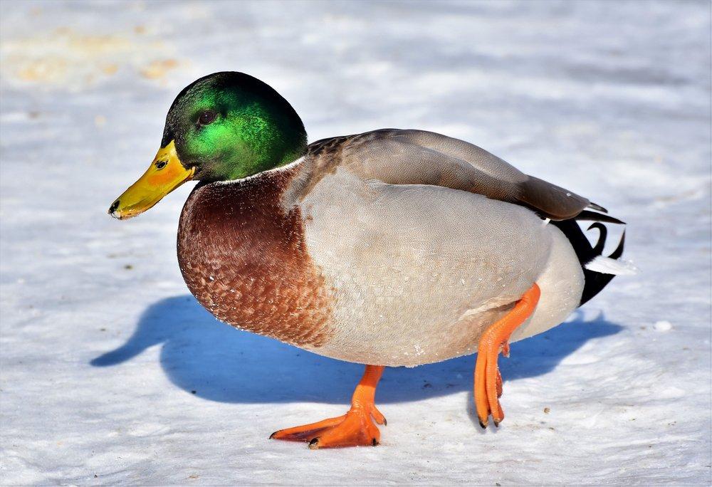 duck-3180287_1920.jpg