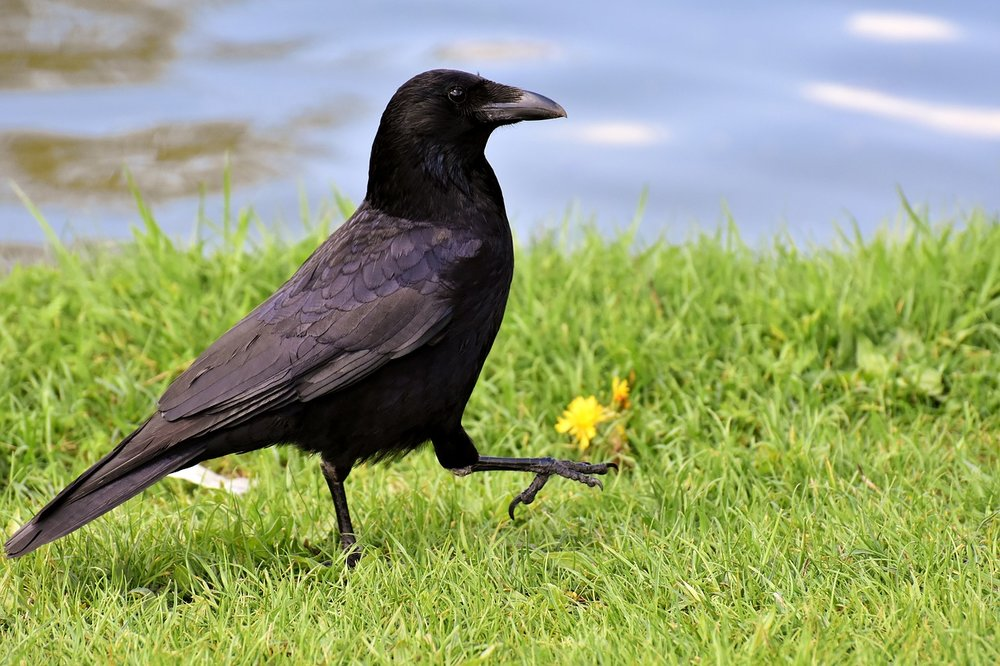 crow-3352389_1280.jpg