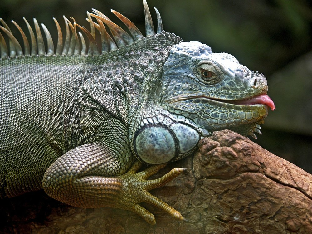 iguana-50198_1280.jpg