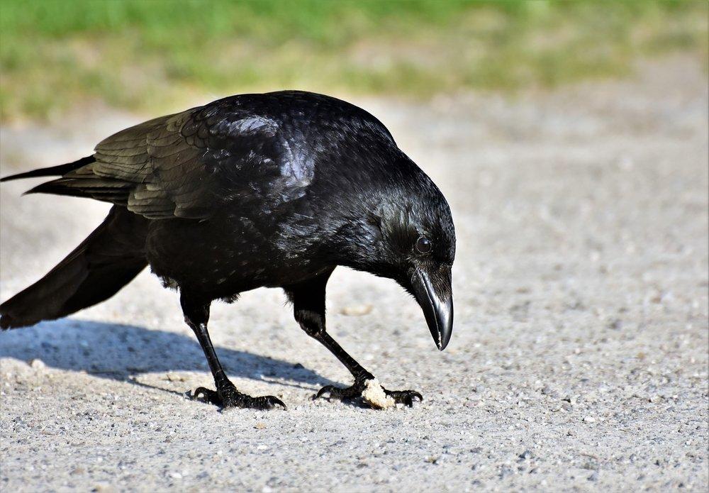 raven-3340529_1280.jpg