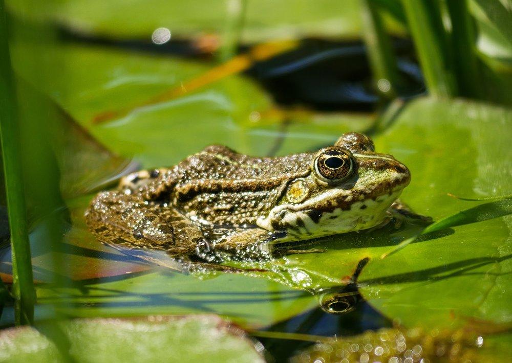 frog-3391119_1280.jpg