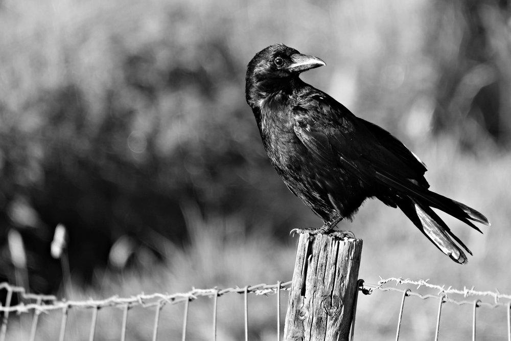 crow thinking