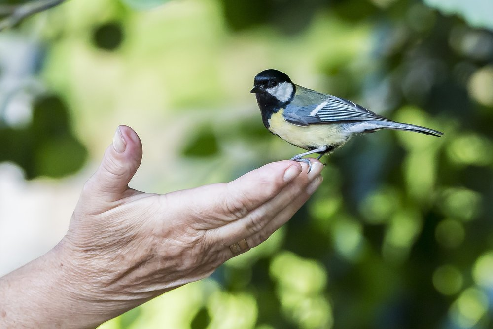 Chickadees are so common they'll sit on your hand. Just not mine.
