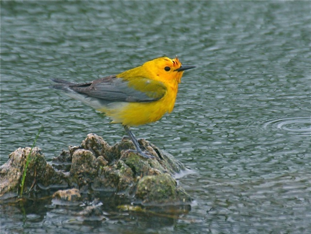 Prothonotary Warbler (MBRC 2008-026) near Fort Peck, 24 May 2008 (Ed Harper photo).