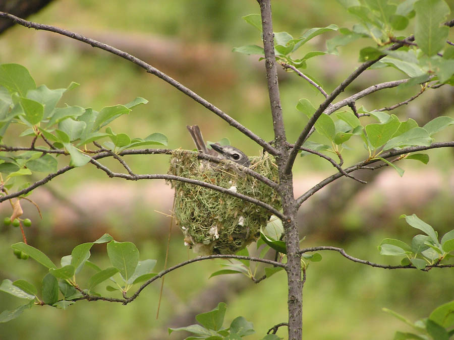 Plumbeous Vireo on nest in the Ekalaka Hills.
