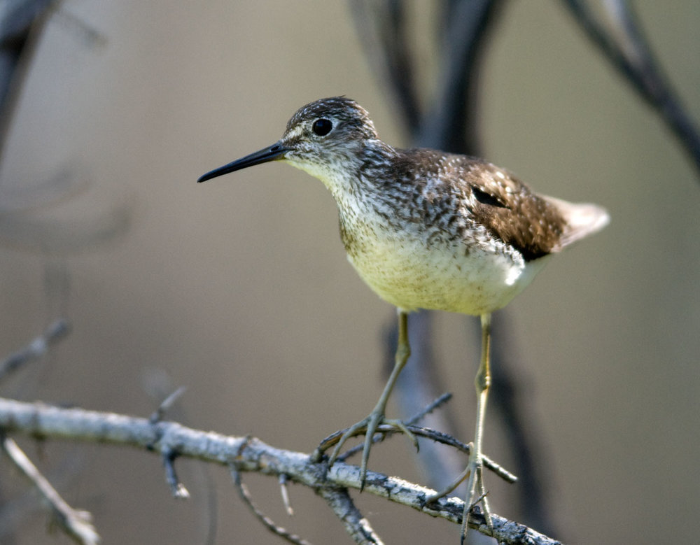 Territorial Solitary Sandpiper perched in tree at unnamed wetland near Howe Lake, 23 June 2007 (Chris Peterson photo).