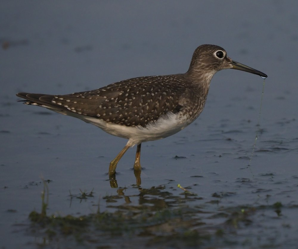 Migrant Solitary Sandpiper feeding in prairie wetland (Eugene Beckes photo).