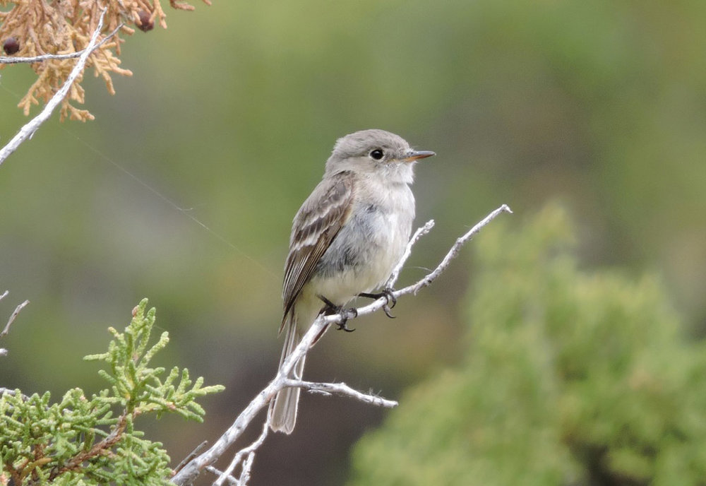 Gray Flycatcher in Bear Canyon                    (Forrest Rowland photo)