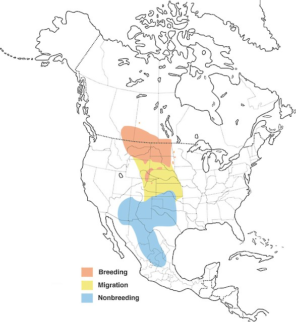 Nearly one-third of the breeding range of Chesnut-collared Longspurs occurs in Montana (courtesy of Cornell Lab of Ornithology).