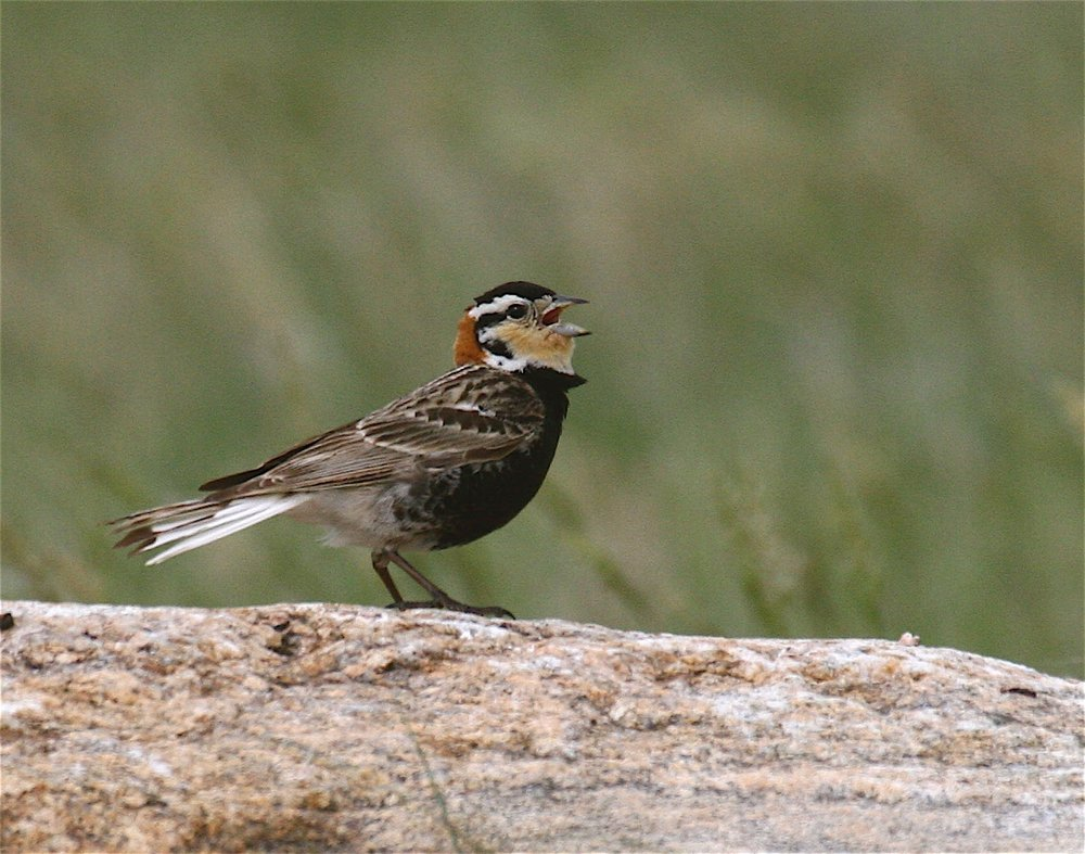 Chesnut-collared Longspur                                                                                        (Ed Harper photo)
