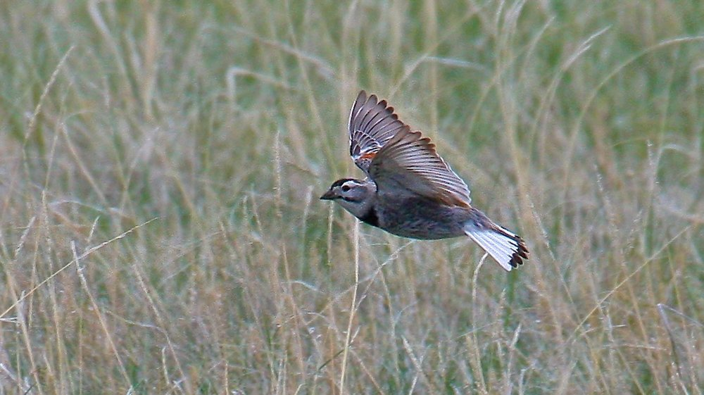 McCown's Longspur                                                  (Ed Harper photo)